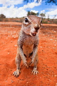 Ground squirrel (Xerus inauris) Kgalagadi Transfrontier Park, Northern Cape, South Africa. Non-ex. - Ann  & Steve Toon