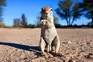 Male Ground squirrel (Xerus inauris) standing on hind legs, Kgalagadi Transfrontier Park, Northern Cape, South Africa. Non-ex.  -  Ann  & Steve Toon