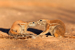 Ground squirrel (Xerus inauris) greeting young, Kgalagadi Transfrontier Park, Northern Cape, South Africa. Non-ex. - Ann  & Steve Toon