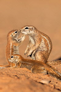 Ground squirrel (Xerus inauris) with young, Kgalagadi Transfrontier Park, Northern Cape, South Africa. - Ann  & Steve Toon