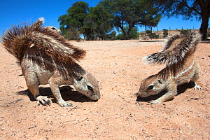 Ground squirrels (Xerus inauris) foraging, Kgalagadi Transfrontier Park, Northern Cape, South Africa. Non-ex. - Ann  & Steve Toon