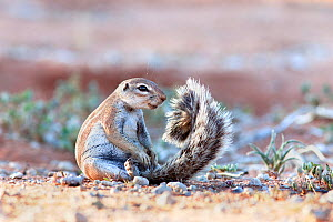 Ground squirrel (Xerus inauris) sitting on tail, Kgalagadi Transfrontier Park, Northern Cape, South Africa. Non-ex. - Ann  & Steve Toon
