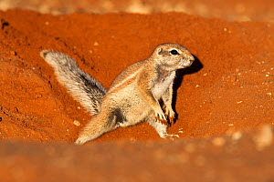 Ground squirrel (Xerus inauris) burrowing, Kgalagadi Transfrontier Park, Northern Cape, South Africa. Non-ex. - Ann  & Steve Toon