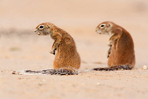 Ground squirrels (Xerus inuaris) Kgalagadi Transfrontier Park, Northern Cape, South Africa. Non-ex. - Ann  & Steve Toon