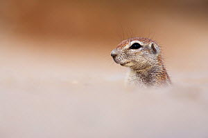 Young ground squirrel (Xeris unauris) Kgalagadi Transfrontier Park, Northern Cape, South Africa. Non-ex.  -  Ann  & Steve Toon