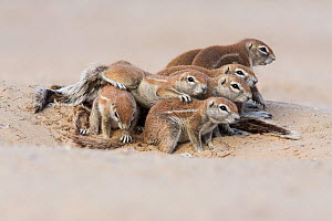 Ground squirrel colony (Xerus inauris) at burrow, Kgalagadi Transfrontier Park, Northern Cape, South Africa.  -  Ann  & Steve Toon