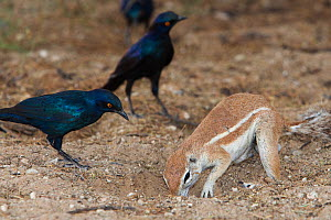 Ground squirrel (Xerus inauris) foraging and Cape Glossy Starlings (Lamprotornis nitens)  waiting for insects to be thrown up by digging, Kgalagadi Transfrontier Park, South Africa. Non-ex.  -  Ann  & Steve Toon