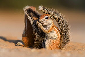 Baby ground squirrel (Xerus inauris) using its tail for shade, Kgalagadi Transfrontier Park, South Africa. Non-ex.  -  Ann  & Steve Toon