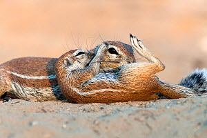 (Duplicate) Ground squirrel (Xerus inauris) grooming baby, Kgalagadi Transfrontier Park, South Africa Non-ex.  -  Ann  & Steve Toon