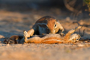 Ground squirrel (Xerus inauris) grooming baby, Kgalagadi Transfrontier Park, South Africa. Non-ex. - Ann  & Steve Toon