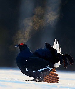 Black Grouse (Tetrao tetrix) male displaying with breath condensing in cold air, Kuusamo, Finland April  -  Markus Varesvuo