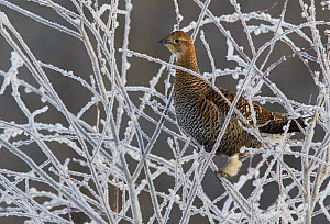 Black Grouse (Tetrao tetrix) female on frosty branches, Kuusamo, Finland April - Markus Varesvuo