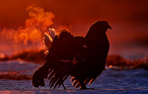 Black Grouse (Tetrao tetrix) displaying with breath vapor at dawn, Utajarvi, Finland, April - Markus Varesvuo