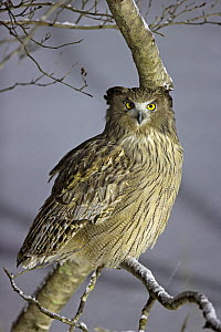 Blakiston's Fish Owl (Ketupa blakistoni) perched, Hokkaido, Japan, February. - Markus Varesvuo