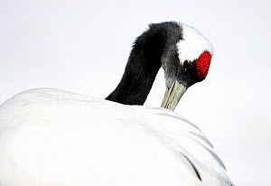 Red-crowned Crane (Grus japonensis)  preening in snow,Hokkaido, Japan, February  -  Markus Varesvuo