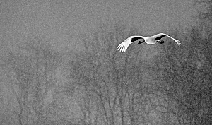 Red-crowned Crane (Grus japonensis) flying during snowfall, Hokkaido, Japan, February  -  Markus Varesvuo