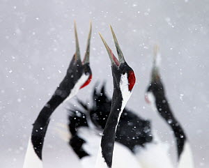 Red-crowned Cranes (Grus japonensis) displaying and calling in snow, Hokkaido, Japan, February  -  Markus Varesvuo
