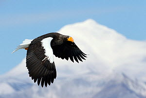 Steller's Eagle (Haliaeteus pelagicus) flying past snowy mountain peak, Hokkaido, Japan, February  -  Markus Varesvuo