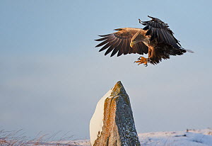 White-tailed Eagle (Haliaeetus albicilla) landing on snowy rock, Norway, November - Markus Varesvuo