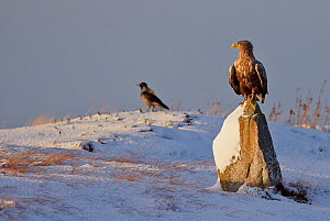White-tailed Eagle (Haliaeetus albicilla) perched on snowy rock with Hooded crow (Corvus cornix)  in background, Norway, November  -  Markus Varesvuo