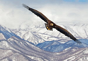 White-tailed Eagle (Haliaeetus albicilla) in flight with mountains in background, Hokkaido, Japan, February  -  Markus Varesvuo