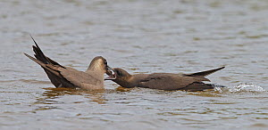 Arctic Skua (Stercorarius parasiticus) adult male feeding adult female, Shetland, Scotland, UK, July  -  Markus Varesvuo