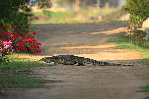 Common asiatic monitor / Asian water monitor lizard (Varanus salvator) crossing dirt track, Thailand, February - Hanne & Jens Eriksen