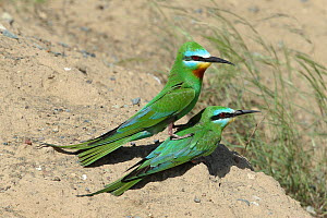 Blue cheeked bee eater (Merops persicus) pair prior to copulation, Oman, April  -  Hanne & Jens Eriksen