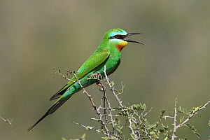 Blue cheeked bee eater (Merops persicus) perched, with beak open to thermoregulate, Oman, April  -  Hanne & Jens Eriksen