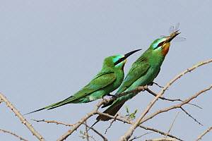Blue cheeked bee eater (Merops persicus) courtship, male with dragonfly gift for female, Oman, April  -  Hanne & Jens Eriksen