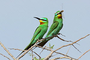 Blue cheeked bee eater (Merops persicus) courting pair, male with dragonfly gift for female, Oman, April  -  Hanne & Jens Eriksen
