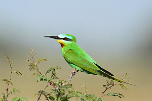 Blue cheeked bee eater (Merops persicus) perched, Oman, April  -  Hanne & Jens Eriksen
