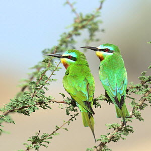 Blue cheeked bee eater (Merops persicus) pair perched, Oman, April  -  Hanne & Jens Eriksen