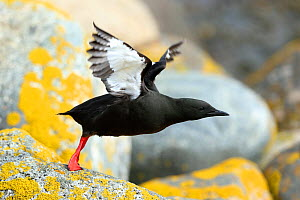 Black guillemot (Cepphus grylle) taking off, Denmark, May  -  Hanne & Jens Eriksen