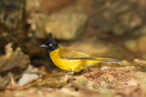 Black crested bulbul (Pycnonotus flaviventris) on ground, Thailand, February  -  Hanne & Jens Eriksen