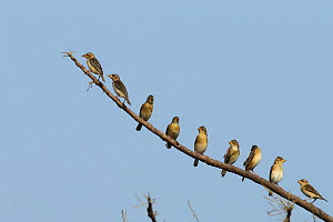 Baya weaver (Ploceus philippinus) group lined up on branch, India, February - Hanne & Jens Eriksen