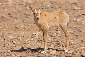 Arabian oryx (Oryx leucoryx) young calf, Oman, November. Taken within large enclosure within protected area.  -  Hanne & Jens Eriksen