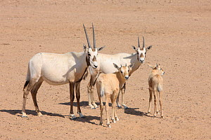 Arabian oryx (Oryx leucoryx) calves and young animals, Oman, November. Taken within large enclosure within protected area.  -  Hanne & Jens Eriksen