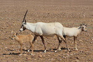 Arabian oryx (Oryx leucoryx) calf and adult, Oman, November. Taken within large enclosure within protected area.  -  Hanne & Jens Eriksen