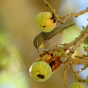 Abyssinian white eye (Zosterops abyssinicus) eating figs, Oman, February - Hanne & Jens Eriksen