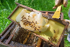 Beekeeper removing unproductive burr comb from Honey bee (Apis mellifera) hive.  -  Gary  K. Smith