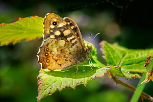 Speckled Wood butterfly (Pararge aegeria)  -  Gary  K. Smith