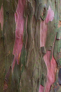 Bark of ancient Yew tree (Taxus baccata) Kingley Vale National Nature Reserve, Sussex, England, March. - Adrian Davies