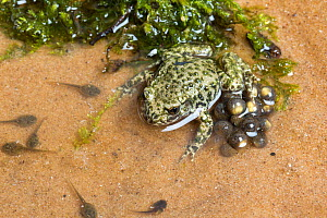 Midwife toad (Alytes obstetricans) male with recently released eggs and tadpoles, South Yorkshire, UK, June. Introduced species in the UK, occurs in Europe.  -  Chris  Mattison