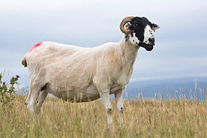 Swaledale sheep (Ovis aries) recently shorn ewe, Cumbria, UK, July.  -  Chris  Mattison