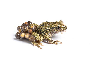 Midwife toad (Alytes obstetricans) male carrying eggs in advanced stage of development, South Yorkshire, UK, June. Introduced species in the UK, occurs in Europe.  -  Chris  Mattison