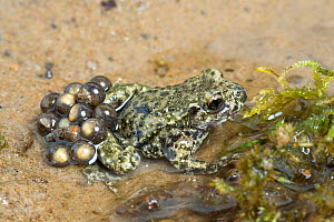 Midwife toad (Alytes obstetricans) male carrying eggs, South Yorkshire, UK, June. Introduced species in the UK, occurs in Europe.  -  Chris  Mattison