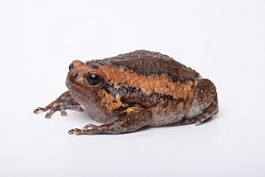 Asian Bullfrog (Kaloula pulchra) on white background, captive occurs in South East Asia.  -  Chris  Mattison
