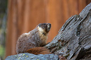 Yellow-bellied marmot (Marmota flaviventris) Sequoia National Park, California, USA, May.  -  Chris  Mattison