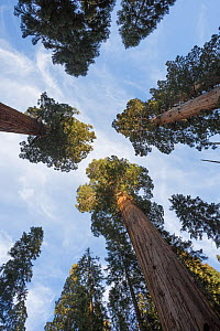 Giant sequoia (Sequoiadendron giganteum) Sierra Nevada, California, USA, May.  -  Chris  Mattison